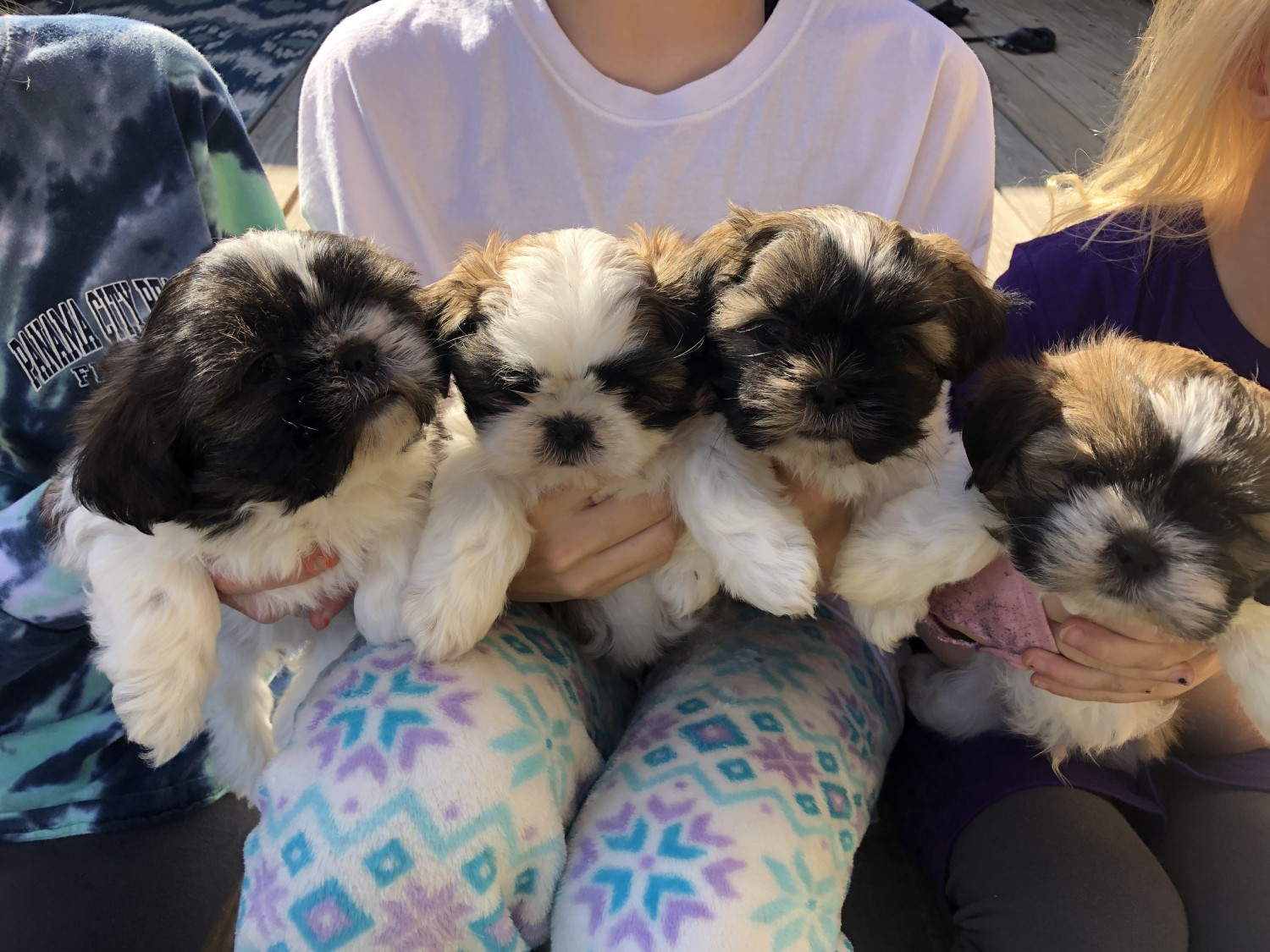 Shih Tzu Puppies For Sale Greenwood In 311116