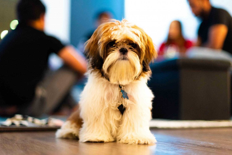 Shih Tzu Puppies For Sale | Seattle, WA #318826 | Petzlover