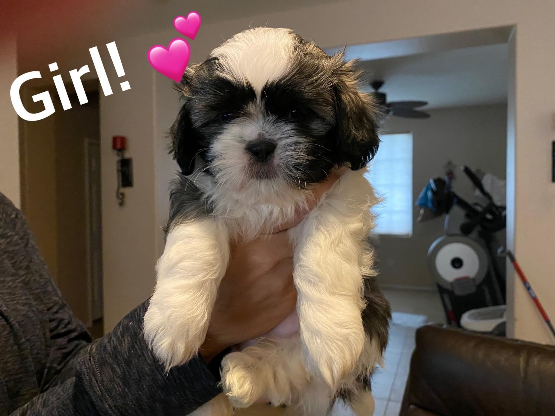 Shih Tzu Puppies For Sale Indio Ca 319947 Petzlover