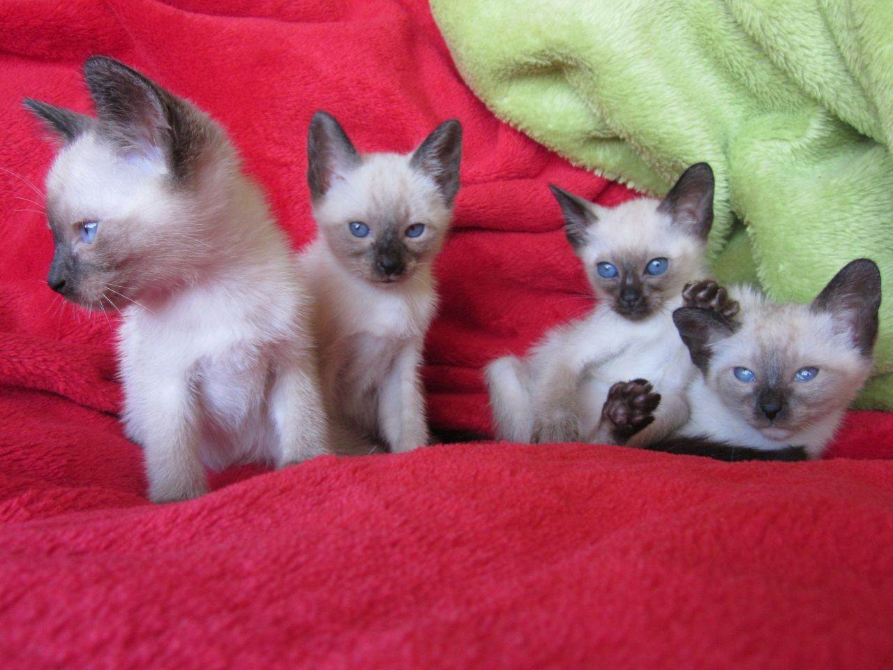 Lilac Point Siamese Kittens For Sale Florida
