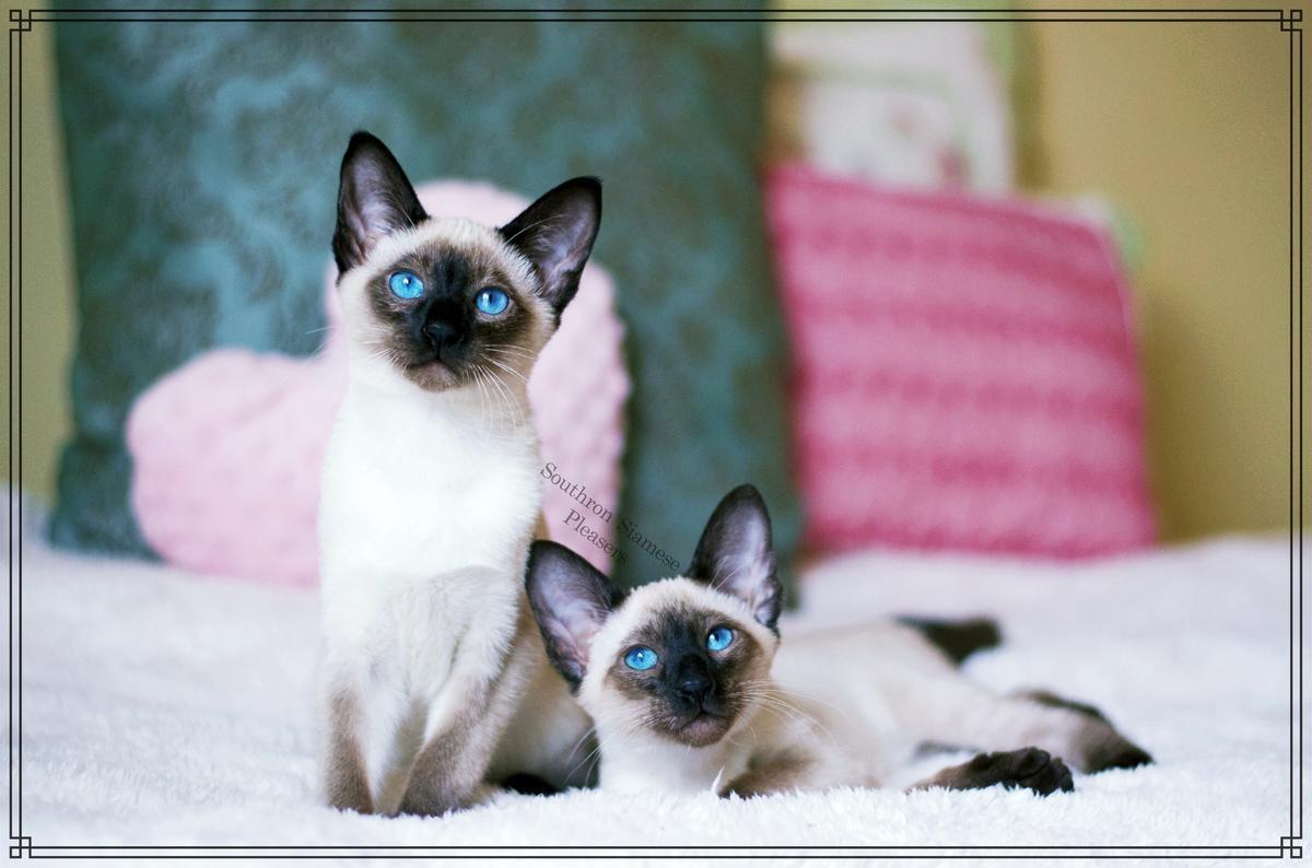 Siamese Cats For Sale Nashville Tn 239005 Petzlover