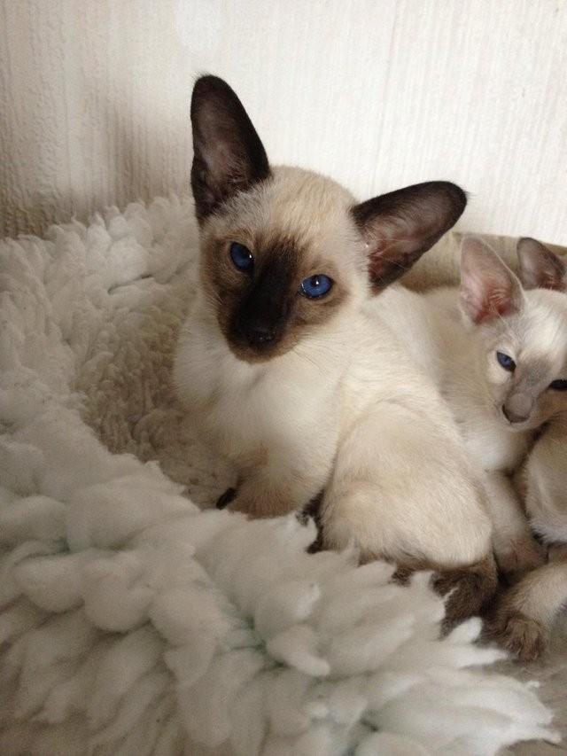 Siamese Cats For Sale Phoenix Az 292938 Petzlover