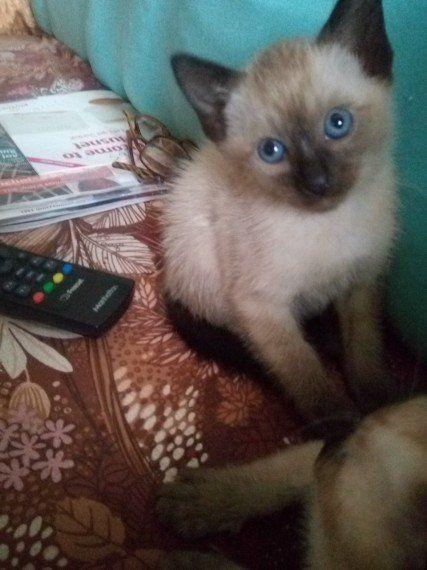 Siamese Cats For Sale El Paso Tx 297318 Petzlover
