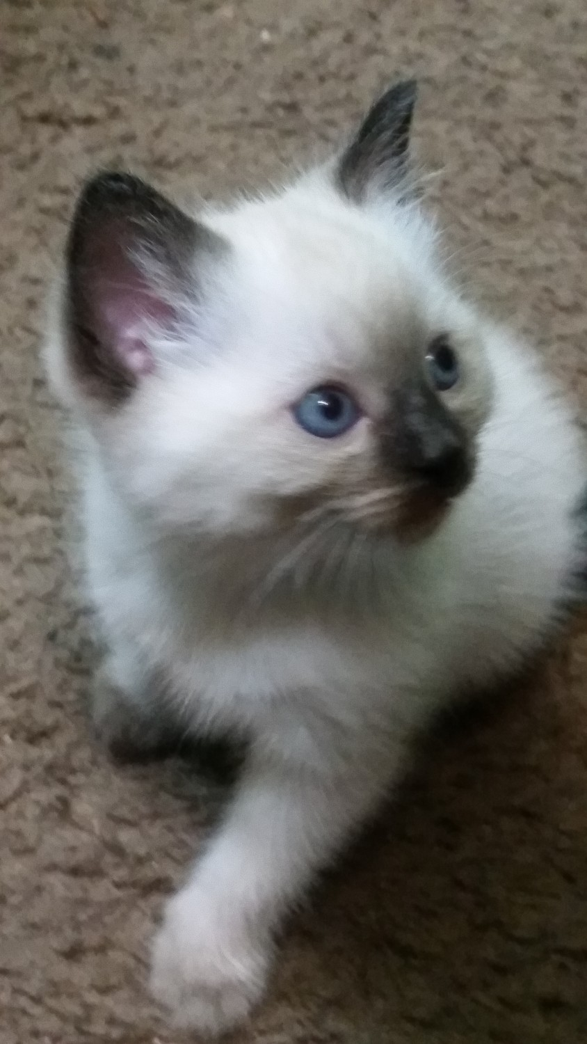 Siamese Cats For Sale Akron Oh 303367 Petzlover