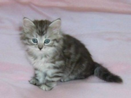 Siberian Cats For Sale In Florida - All About Foto Cute Cat Mretmlle Com