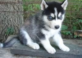 Siberian Husky Puppies For Sale Sioux Falls Sd 80763
