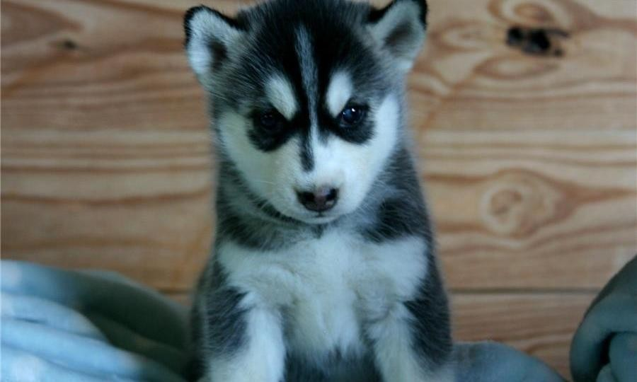 Siberian Husky Puppies For Sale Albany Vt 86763