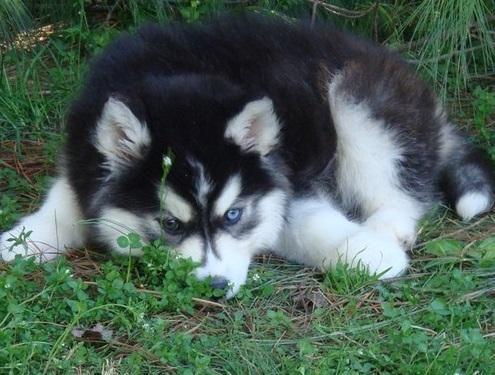 Siberian Husky Puppies For Sale Pueblo Co 86896