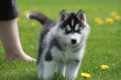 Siberian Husky Puppies For Sale Bishopville Sc 88031