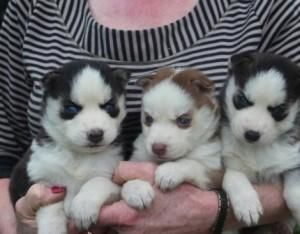 Siberian Husky Puppies For Sale Joliet Il 88169