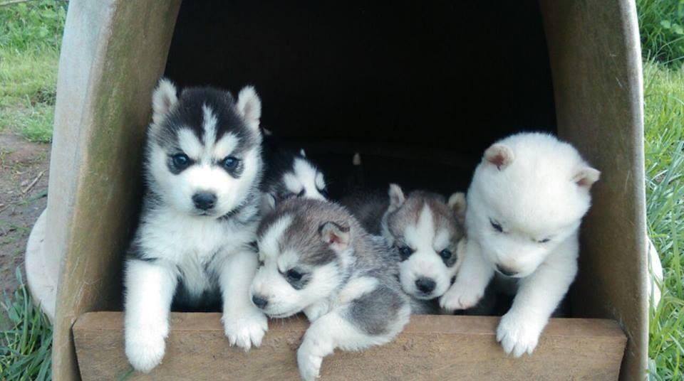 Siberian Husky Puppies For Sale Sioux Falls Sd 98210
