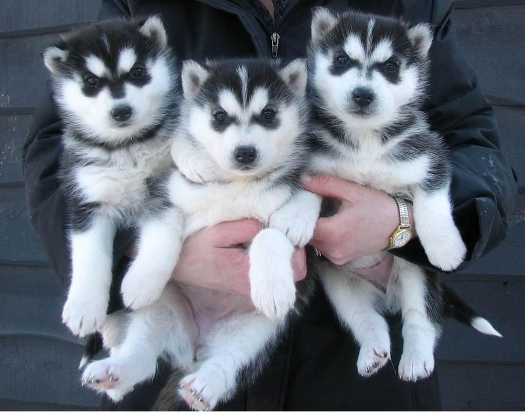 9 Reasons Why Siberian Husky Puppies Syracuse Ny Is Common