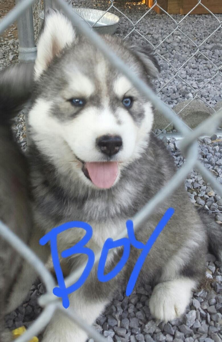 Siberian Husky Puppies For Sale Johnson City Tn 140453