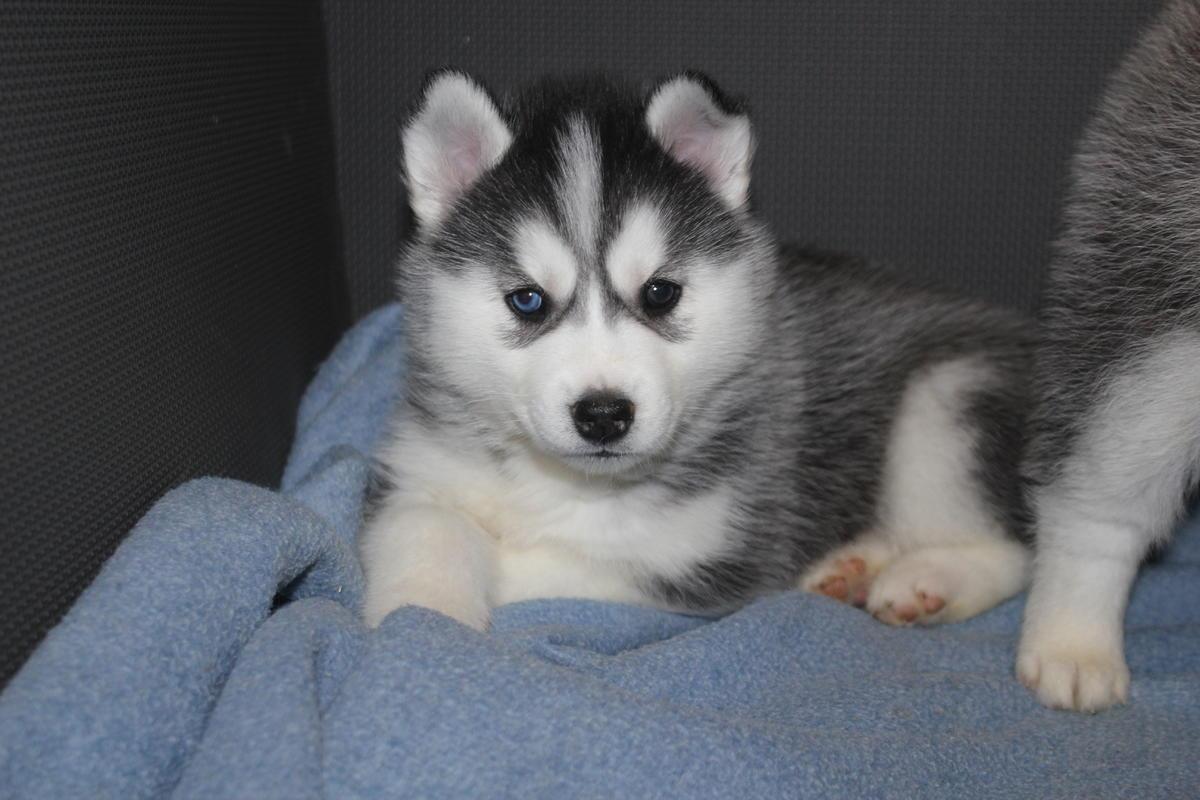 Siberian Husky - Huskita Puppies For Sale In Japan