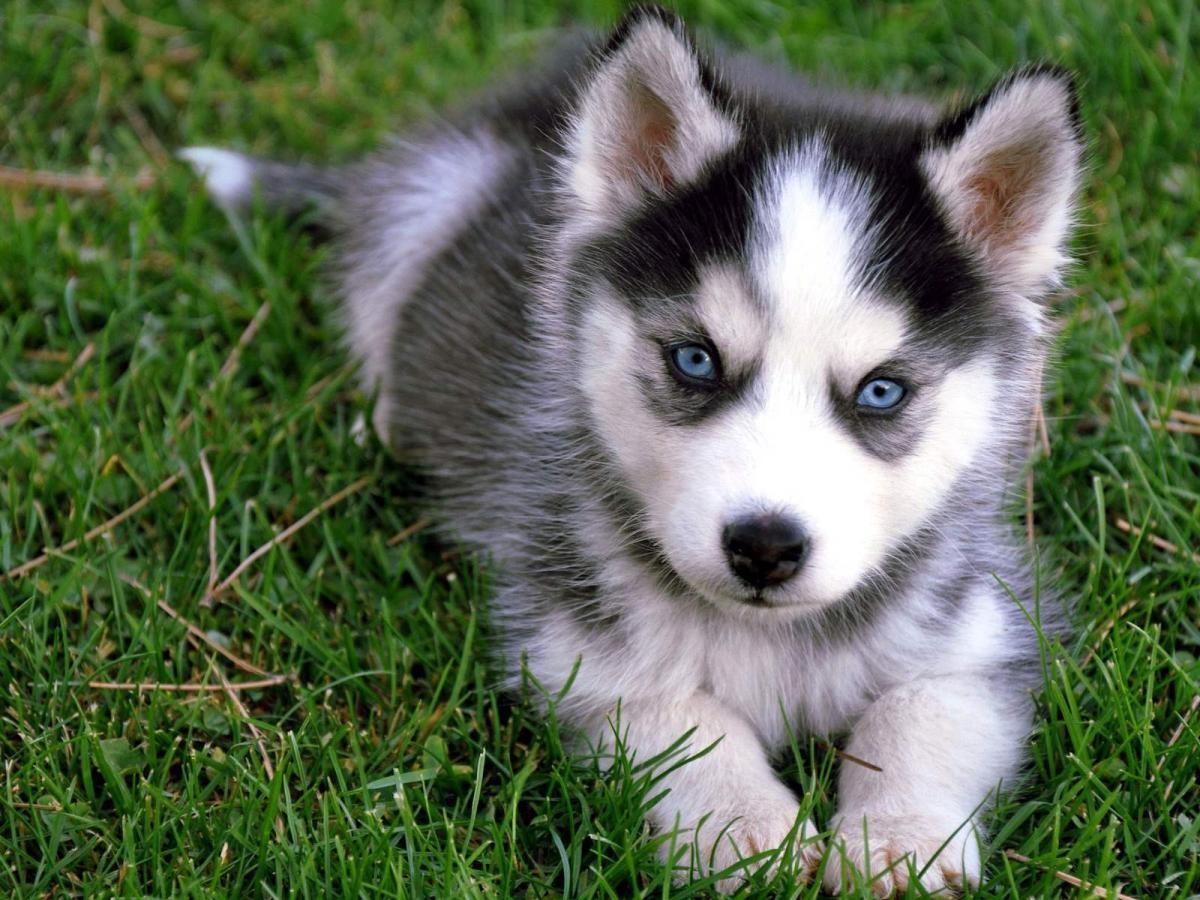 Siberian Husky Puppies For Sale Aberdeen Id 156302