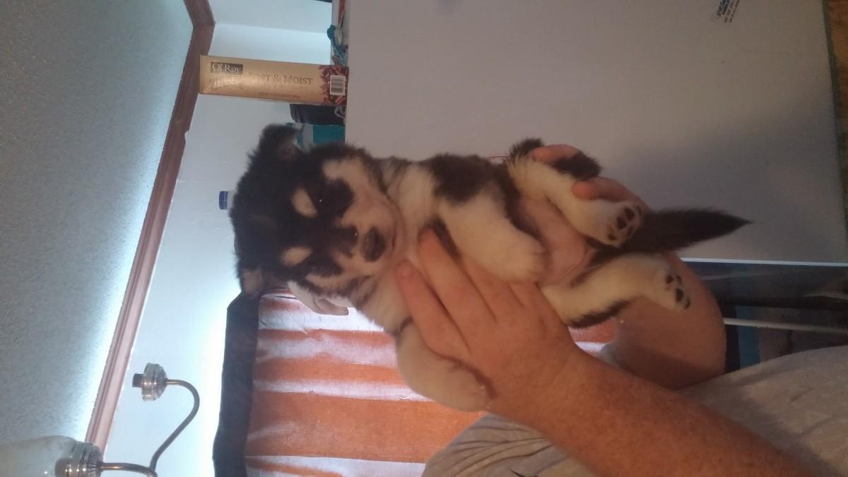 Siberian Husky Puppies For Sale Greensboro Nc 164780