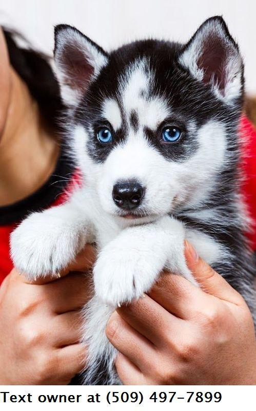 Siberian Husky For Sale In Tulsa 20 Petzlover