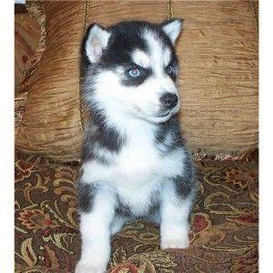 Siberian Husky Puppies For Sale Colorado Springs Co 166301