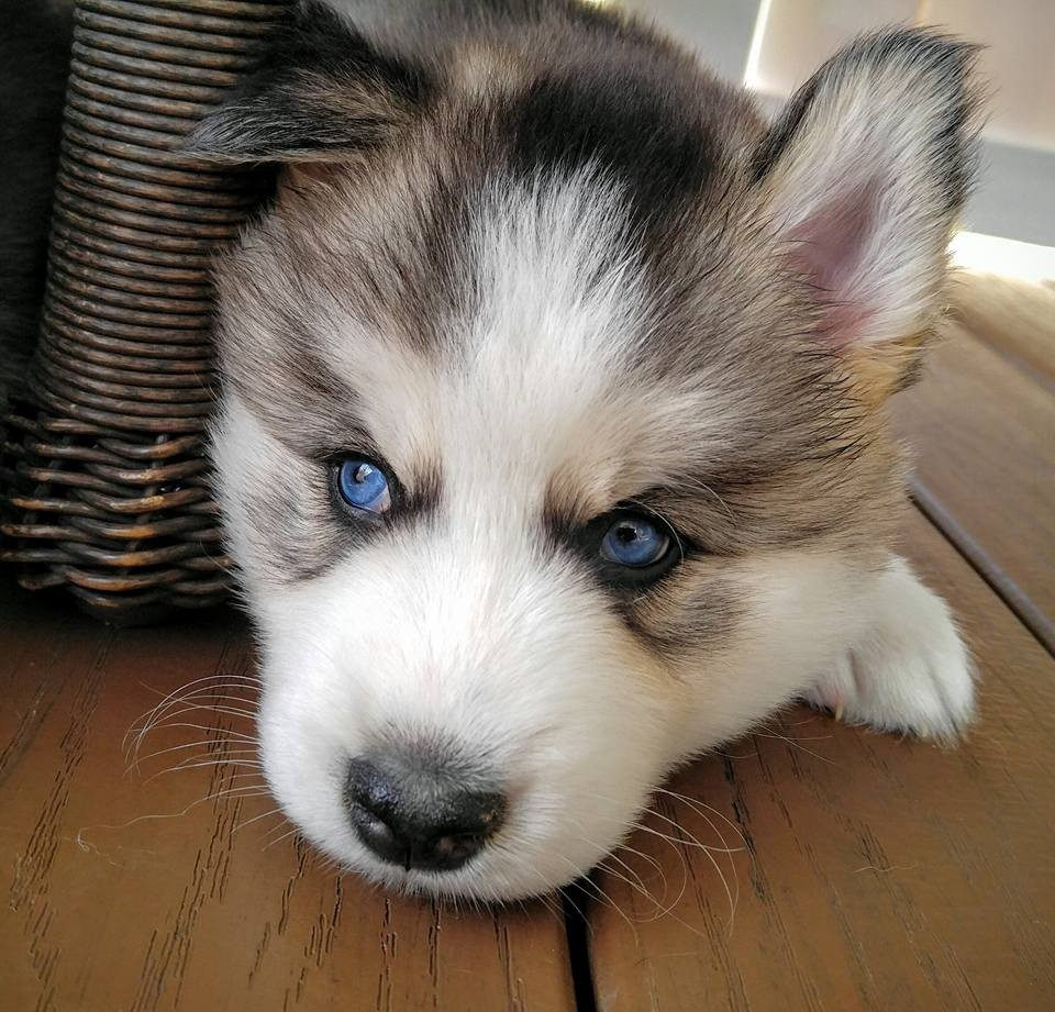 Siberian Husky Puppies For Sale Johnson City Tn 166840