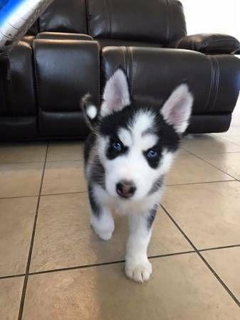 Image Result For Siberian Husky For Sale Los Angeles