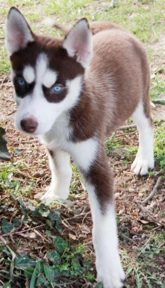 husky puppies for sale in texas siberian husky puppies for sale houston tx 199030 1536