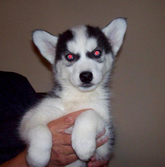 Siberian Husky Puppies For Sale Columbia Sc 199073