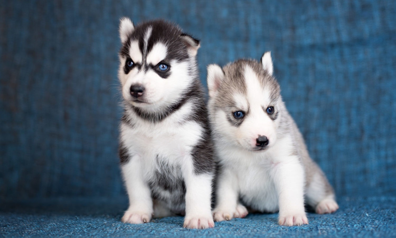 Siberian Husky Puppies Virginia Beach