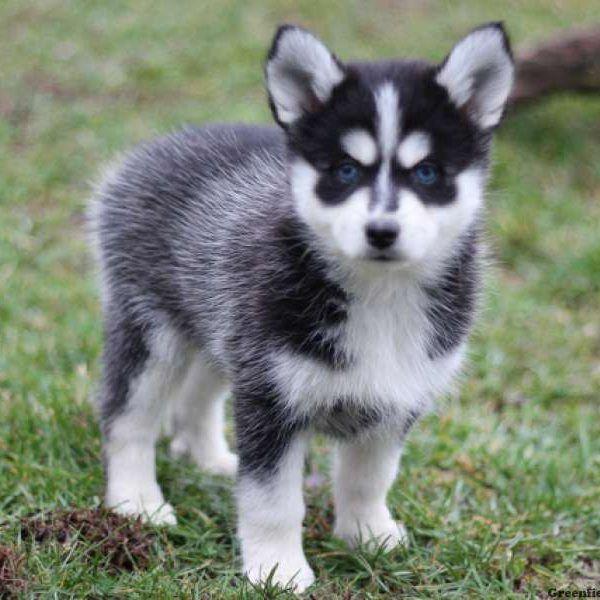 Siberian Husky Puppies For Sale Virginia Beach Boulevard Va 209771