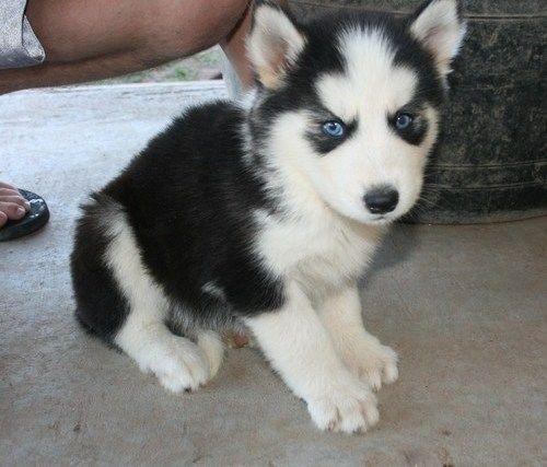 Siberian Husky Puppies For Sale Virginia Beach Boulevard Va 209797