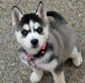 Siberian Husky Puppies For Sale Charleston Sc 234083
