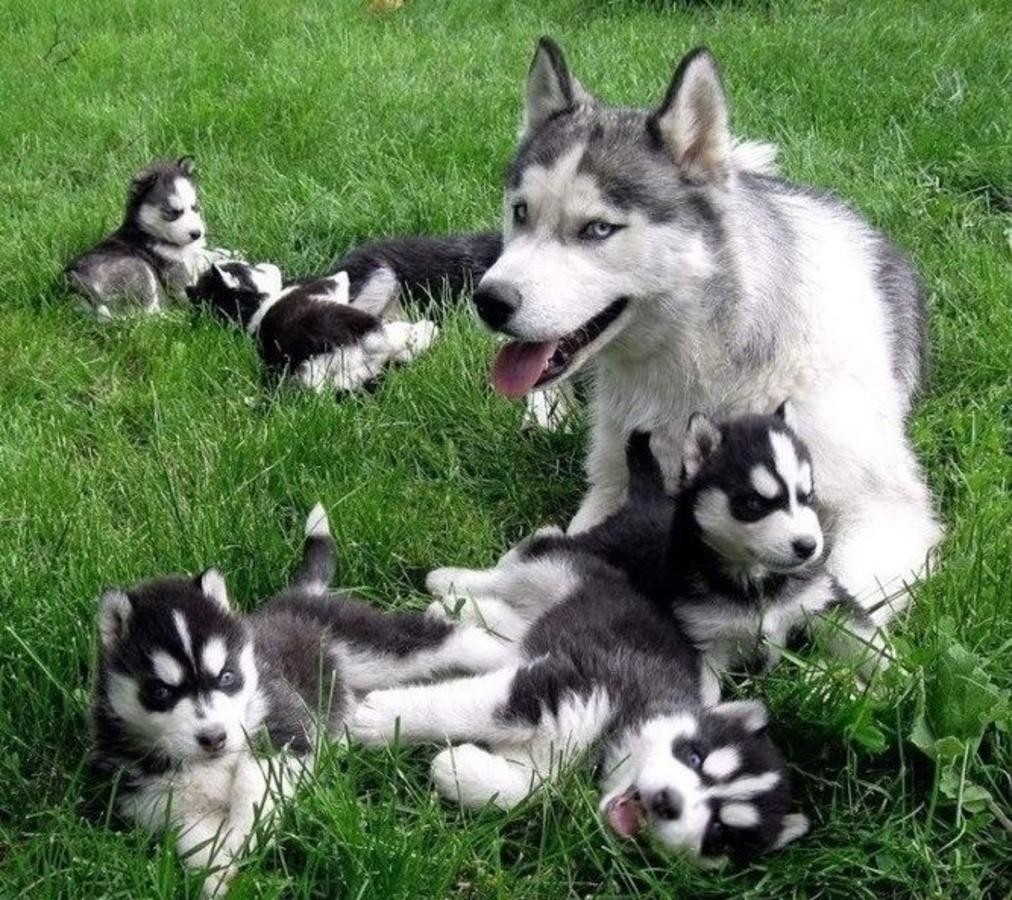 Rozina Puppy Husky For Sale In Italy