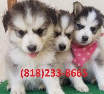 Siberian Husky Puppies For Sale Memphis Tn 253491