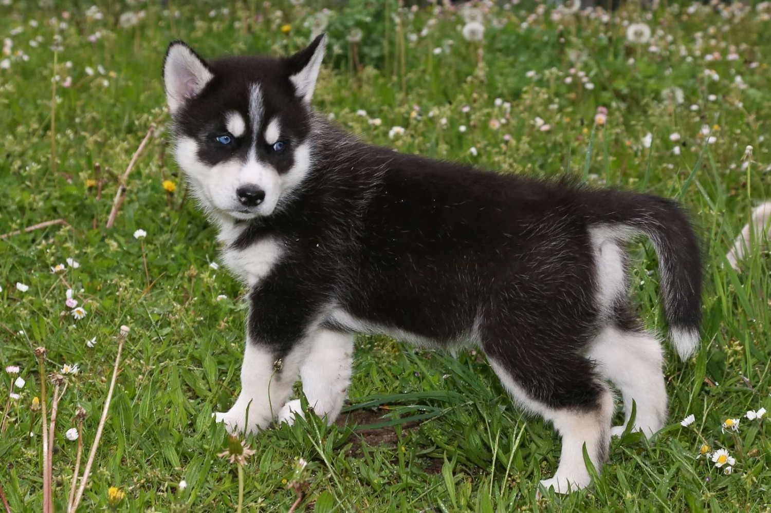 Siberian Husky Puppies For Sale Independence Mo 255904