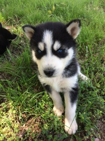 Siberian Husky Puppies For Sale Chicago Il 267749