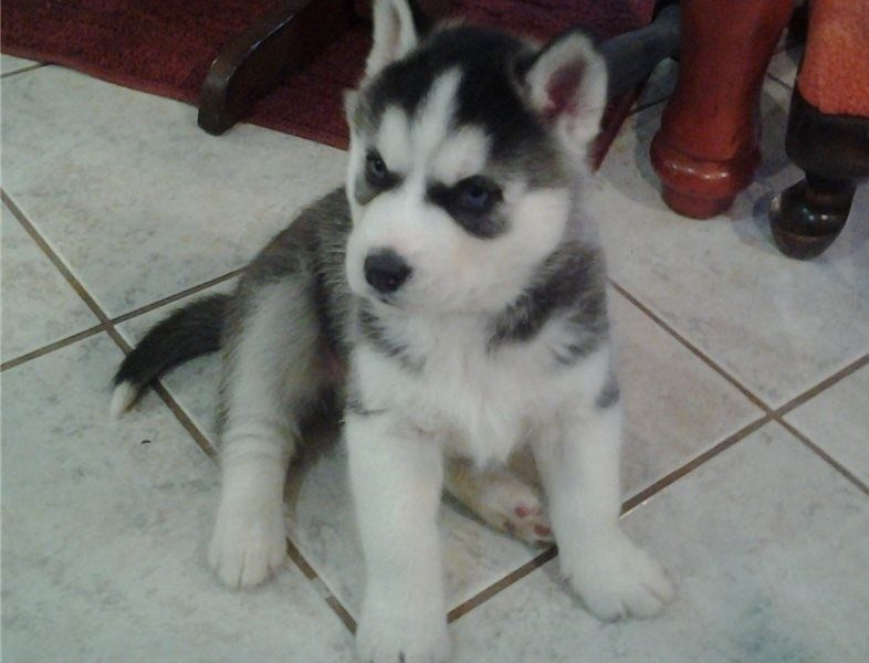 Siberian Husky Puppies For Sale   New Jersey 3, NJ #272057