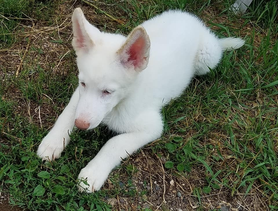 Husky puppies for sale green bay wi