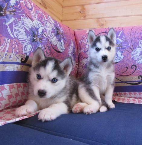 husky puppies for sale in texas siberian husky for sale in dallas county 365 petzlover 9299