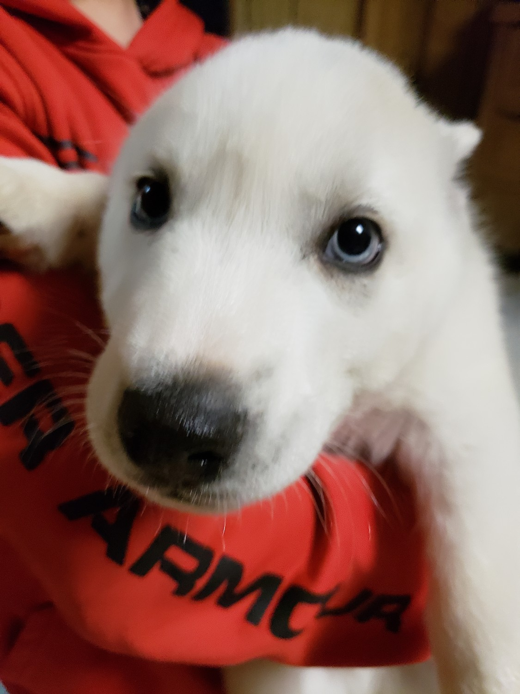 Siberian Husky Puppies For Sale Piqua Oh 285468