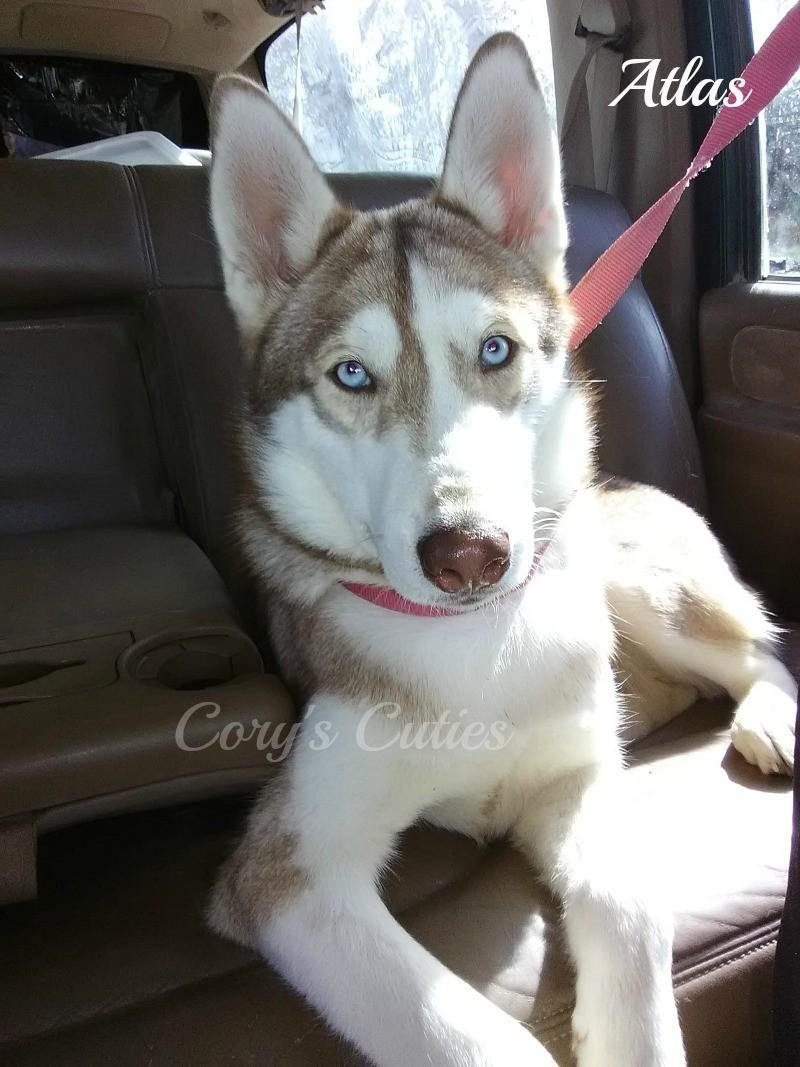 Siberian Husky Puppies For Sale Elkland Mo 281929
