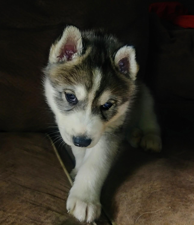 Siberian Husky Puppies For Sale Flint Mi 289142