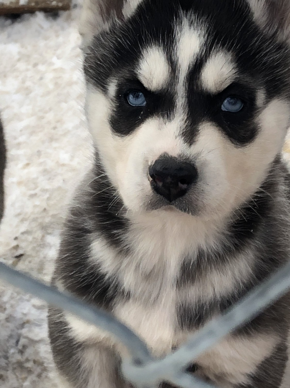 Husky Puppy Michigan Goldenacresdogs