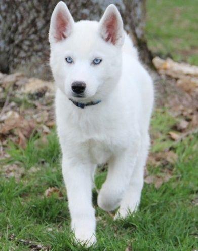 White Husky Puppies Blue Eyes