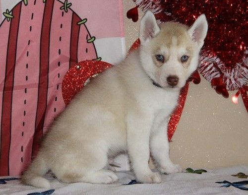 Image Result For Siberian Husky Puppies For Sale In Sc