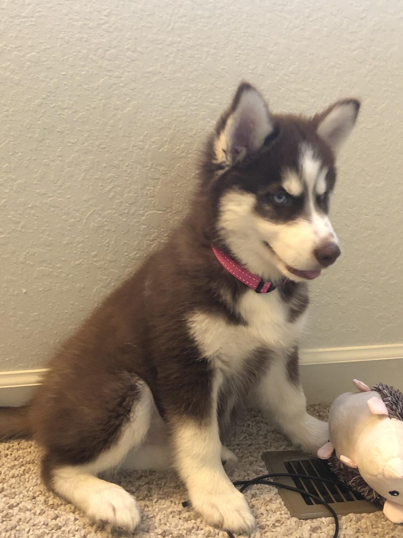 Siberian Husky Puppies For Sale Goshen In 308679