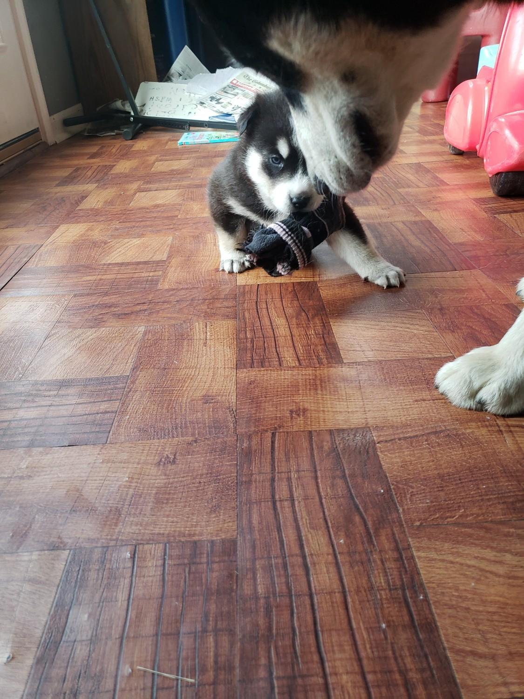 Siberian Husky Puppies For Sale | Reynoldsburg, OH #328657