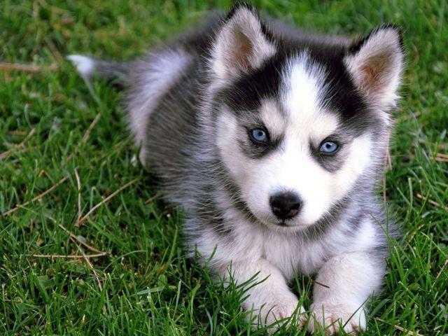 Siberian Husky Dog Breed Information, Images ...