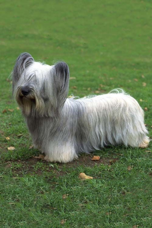 Skye Terrier vs Cardigan Welsh Corgi - Breed Comparison