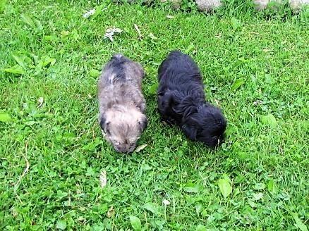 Snorkie Puppies For Sale El Paso Tx 222243 Petzlover