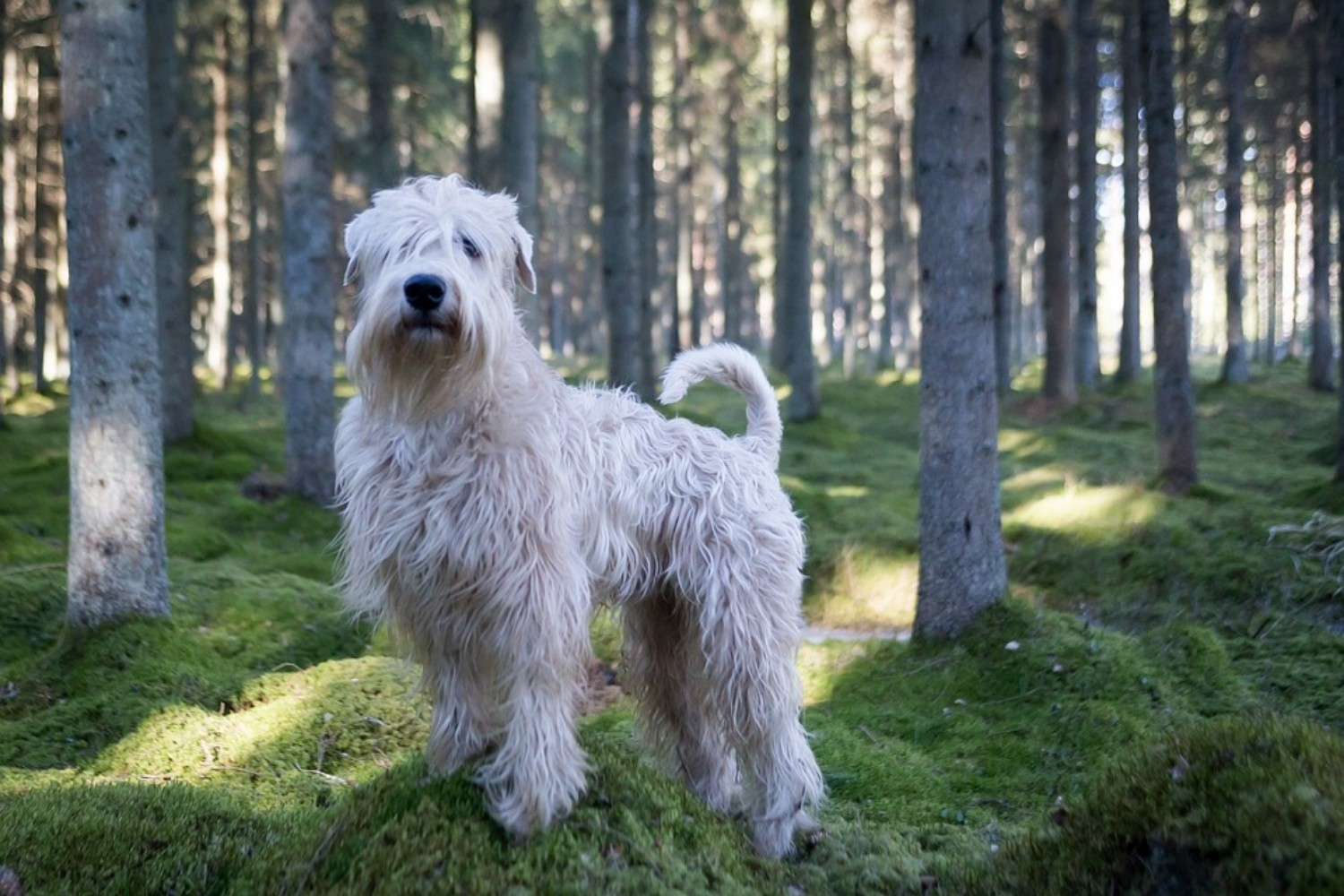 Soft Coated Wheaten Terrier Vs Irish Terrier Breed Comparison