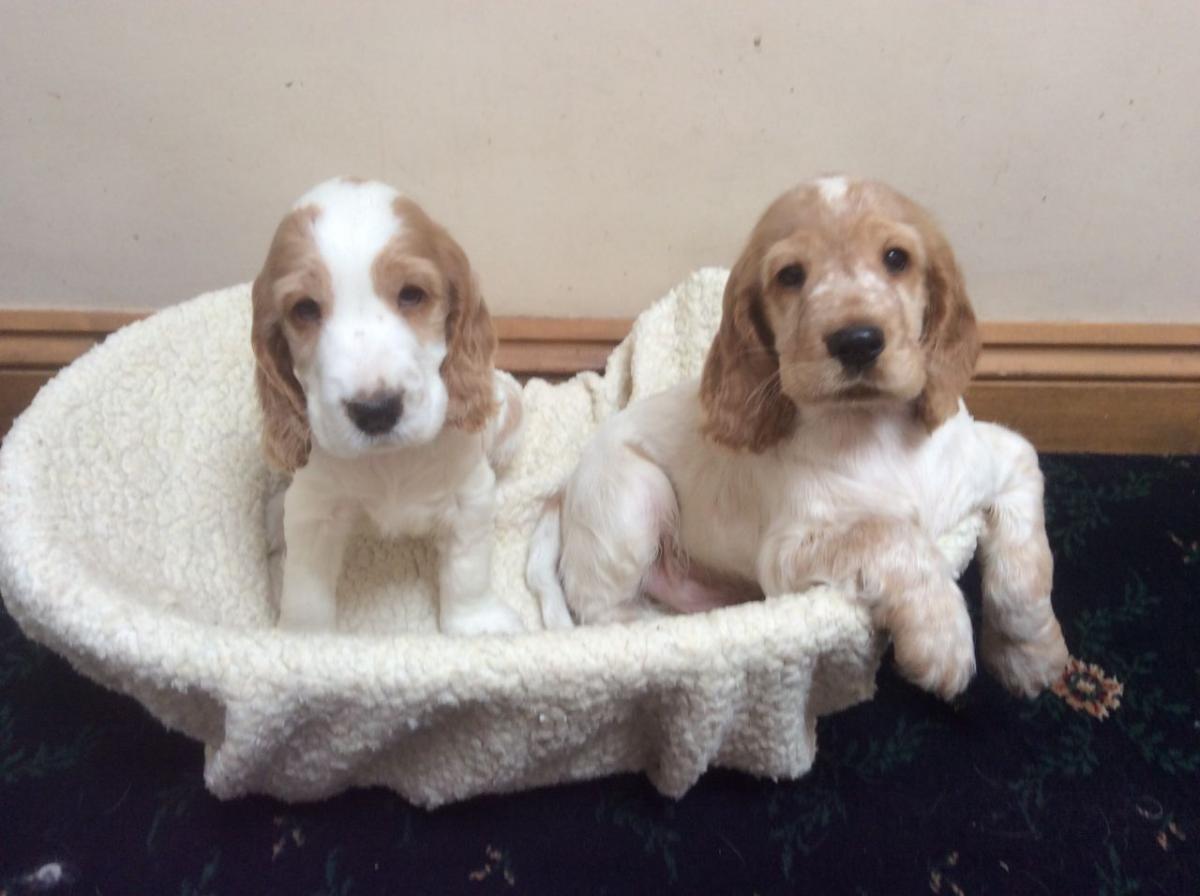 Spanish Mastiff Puppies For Sale Wheatland Wy 124536